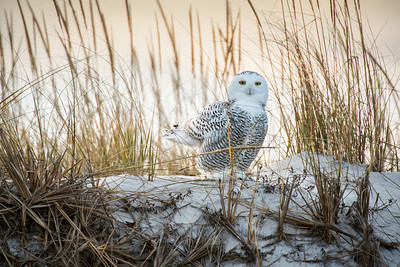 Snowy Owl 1782