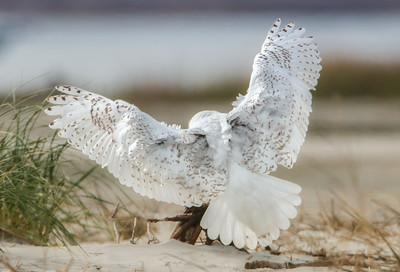 "#497 Snowy Owl 1664 ""Archangel"""