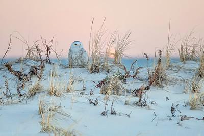 #1089 Snowy Owl