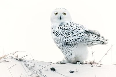 #411 Snowy Owl 6