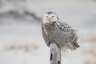 #899 Snowy Owl