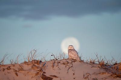 #1087 Snowy Owl