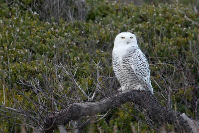 #505 Snowy Owl 2836