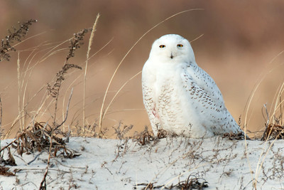 #435 Snowy Owl on Brown