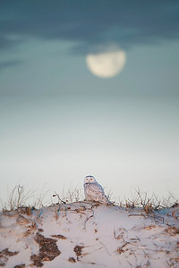 #1090 Snowy Owl Under the Moon