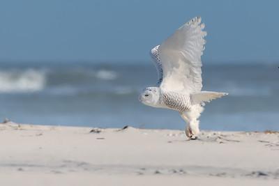 #892 Snowy Owl