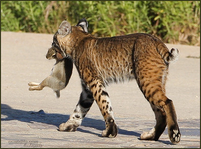 Bobcat taking food home