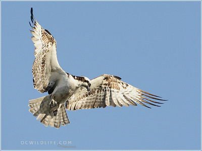 These Osprey are looking for fish at the Irvine Wildlife Sanctuary ponds, SJWS
