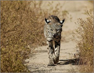 Female Back Bay bobcat