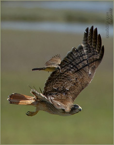 Red Tail Hawk being chased by a brave Kingbird