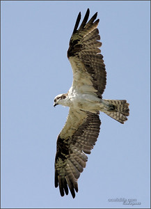 Ospreys of Orange County. Nests are doing well. The fish stocking of our lakes help survival.