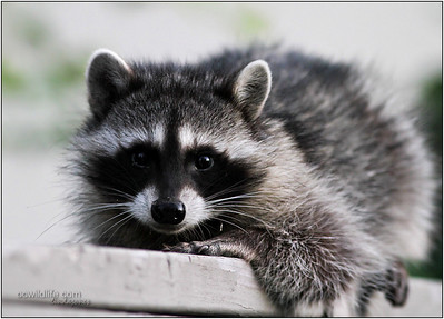 The raccoon family visiting my back yard. This one, the youngest, was so sweet. He wanted to be friends, kept creeping closer.