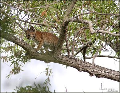 Young Bobcat SJWS