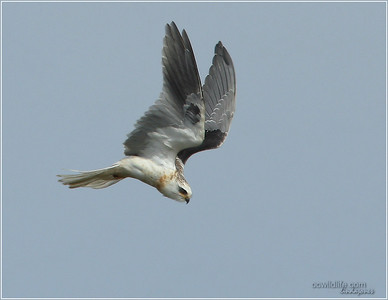 Young Kite who ventured to the Back Bay