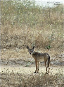 Coyote at the Back Bay