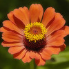 Yellow Flame Zinnia. Photo taken at the ranch near Bellville.