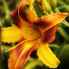 Common variegated daylily.