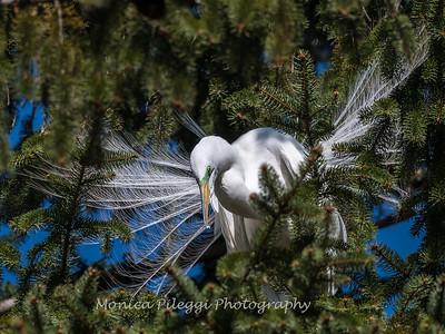 Great Egrets 8 Apr 2018-5325