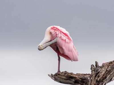 Roseate Spoonbills Florida Jan 2018-8139