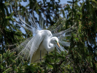 York-Great-Egrets-23-April-2017-2994