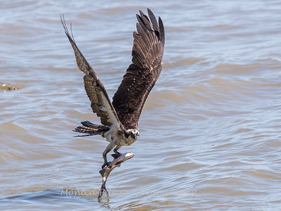 Osprey Apr-May VA 2018-0465