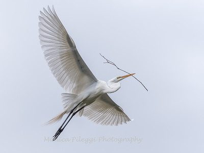 Great Egrets 2 May 2017 -4195