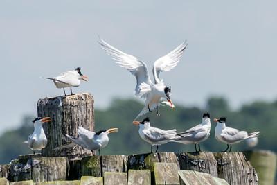 Virginia-Birds-June-20177955