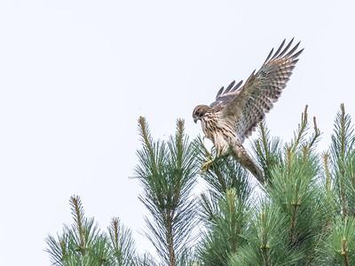 Hawk 1 July 2017-0784