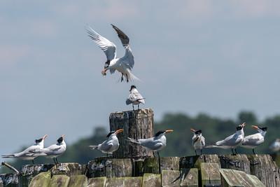 Virginia-Birds-June-20177944