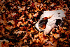 Old cow skull in a pile of leaves.