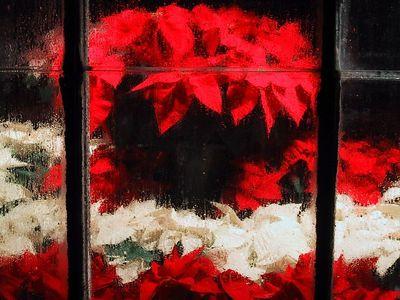 Poinsettias - December 2001