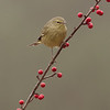 Orange Crown Warbler