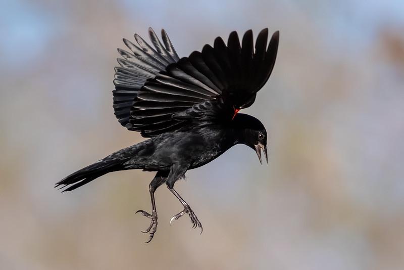 Song Birds in Flight