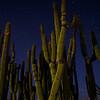 Night Cactus