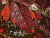 Red Leaves in Independence Lake County (Washtenaw) Park in Webster Township, MI, 09/28/2012