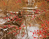 Red Berries over the Stream 11/28/2013
