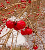 Red Berries with Snow 11/28/2013