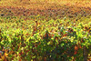 Autumn Vineyards Stellenbosch, Western Cape, South Africa