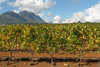 Vineyards Stellenbosch, Western Cape, South Africa