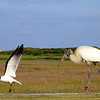 Laughing Gull quick exit from Wood Stork