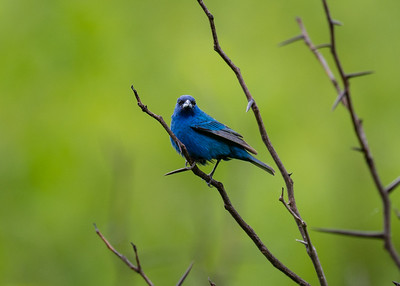 Indigo Bunting, Seven Islands, Tennessee