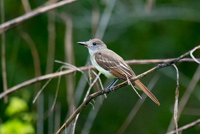 Great Crested Flycatcher, Hilton Head Island