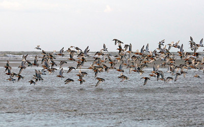 Red Knots Migration at Captain Sam's Spit