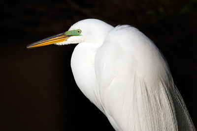 Great Egret Portrait