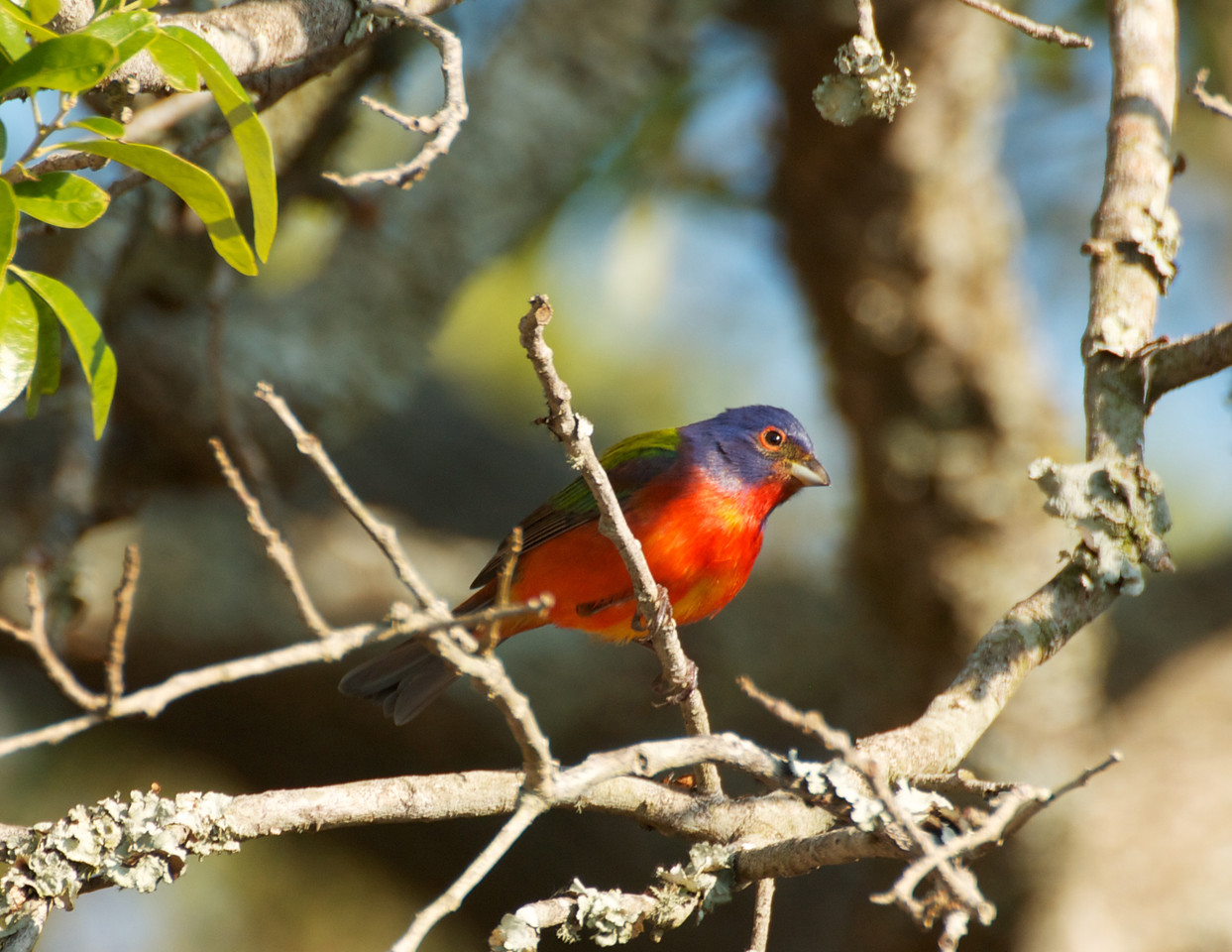 Painted Bunting at  Mingo Point