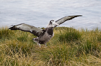 Waved Albatross, juvi