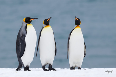 King Penguin Trio