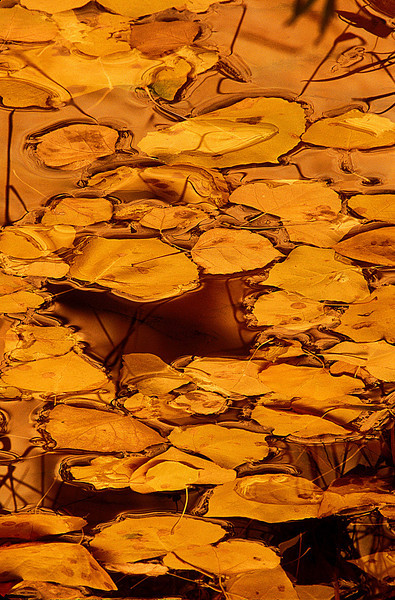On a golden pond of aspen leaves - Capitol Reef National Park.<br /> Photo © Cindy Clark