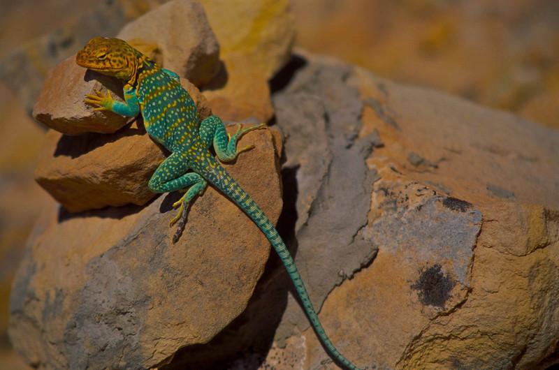 Collared lizard checks out the scene at Butler Wash.<br /> Photo © Carl Clark