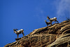 A family outing of Desert bighorn sheep in Zion.<br /> Photo © Carl Clark